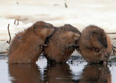 Cute Muskrat | ... of muskrat for 10 friday photos i ve heard some story that muskrats