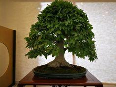 Bonsai, Herbs, Plants, Bonsai Trees, Herb, Planters, Plant, Spice, Planting