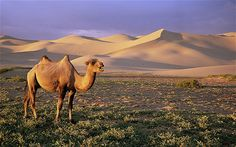 Gobi Desert - Mongolia * The seemingly lifeless and inhospitable landscape of Mongolia's massive Gobi Desert is home to several endangered mammals, including snow leopards, Siberian Ibex, Argali Sheep and Gobi Camels.