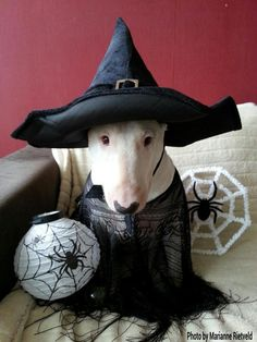 She is the most beautiful witch I have ever seen!! Obviously a good witch!! #Bull #Terrier