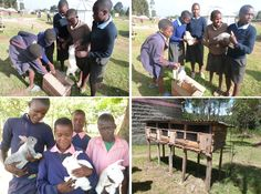 V okolí Mau Forest spolupracujeme s 8 základnými a 2 strednými školami, a to všetko v nadmorskej výške 2000 m n.m. Človek sa tu cíti ako vo Vysokých Tatrách. Časť lesa tvoria dokonca, pre Keňu stále exotické, ihličnaté stromy. Naše školy dostali po 3 králiky, kde sa o nich budú starať a z nových prírastkov budú mať úžitok nielen školy, ale aj samotní usilovní školáci. S malými králikmi rozbehnú vlastné domáci králikárne. :-)