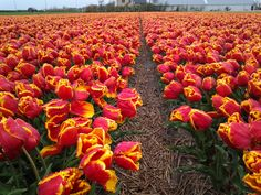 tulpen in the Netherlands