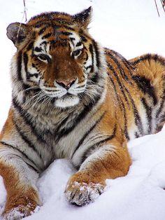Tiger Nobility | by starbucksgirl26