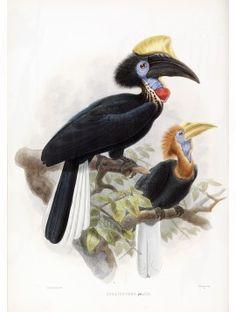 25 Yellow Casque Black Hornbill
