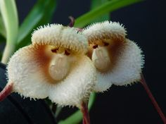 Dracula saulii is an epiphytic orchid in   the genus Dracula. And these two look like a pair of   monkeys...!