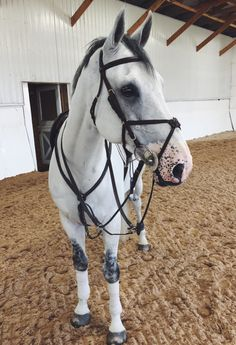 This is hibiscus he's a 7yo Gelding with a silly and smart personality , he knows how to do flying lead changes. He's a good jumper and dressage horse ~ Miss slava