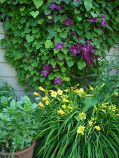 Dutchman's Pipe Vine with clematis and yellow daylilies