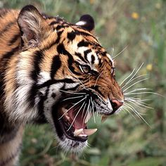 Roaring Tiger Picture of angry tiger roaring. Tiger Images, Tiger Pictures, Tiger Fotografie, Animals And Pets, Cute Animals, Royal Animals, Angry Animals, Angry Tiger, Tiger Tattoo