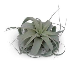 12 Pack Tillandsia Ionantha Guatemala As Is Air Plants for sale online Hanging Air Plants, Indoor Plants, Plants That Repel Bugs, Epiphyte, Plants For Sale Online, Air Plants Care, Wooden Basket, Succulent Wreath, Plant Information