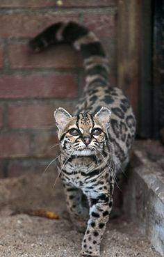 Margay Cat, very rare, often confused with ocelot. This is the only cat whose hind legs rotate 180 degrees, allowing them to run headfirst down trees.