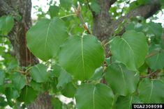 """Pyrus calleryana calleryana """"Evergreen Pear"""" WBlET"""