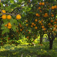 Italian blood orange trees - Sicily