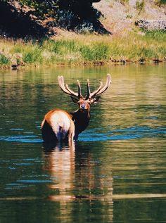 Wildlife - Yellowstone National Park , WY