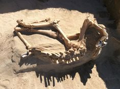 Landscapers unexpectedly unearthed the remains of an ice age horse in a Utah yard. The horse must have fallen into the lake that partly covered the state some years ago. Horse Skull, Backyard Renovations, Ice Age, Cute Faces, Predator, Fossils, Archaeology, That Way, Chihuahua