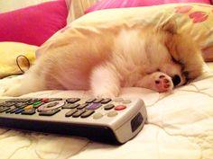 #pom pom, #puppy, #2months Pom Pom Puppies, Hello October, Pomeranian, Four Legged, Babies, Pets, Animals, Babys, Animales