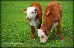 Hereford calves at Churchill Cattle Co. - Montana Stockgrowers Association