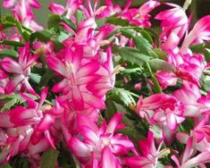 Schlumbergera truncata (Thanksgiving Cactus, Holiday Cactus) is a cactus with stems composed of strongly flattened segments, which have.