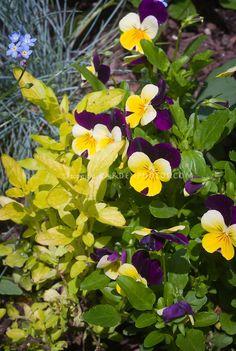 Pansies and golden oregano | Plant & Flower Stock Photography: GardenPhotos.com