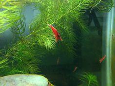 Freshwater Shrimp for Beginners - FishLore Aquarium Fish Forum