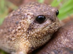 Breviceps gibbosus Giant rain frog , first subsaharan described by Limmeaus Phil Bishop