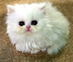 136 Best Anak Kucing Images In 2018 Pretty Cats Beautiful Cats Cats