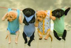 Lab puppies on a clothesline