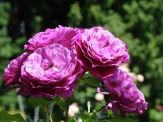 Gallery For > Garden Of Purple Roses