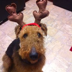 A deer . . .  I mean a 'dale!!! (Makes perfect sense that Santa would have flying Airedales)