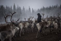 A Sami woman from the Vilhelmina Norra Sameby, keeps an eye on the reindeer near the village of Dikanaess, about 800 kilometers north-west of the capital Sweden.