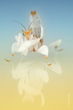 Orchid Mantis | Mateusz Znamierowski