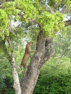 Leopard at Yala national park, Sri Lanka