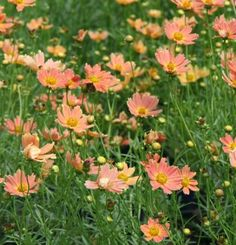 10 Perennials Easily Grown from Seed | Fine Gardening