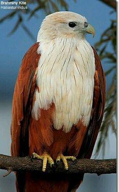 El águila azor indonesia (Nisaetus alboniger) Es un ave rapaz diurna, se reproduce en la península de Malaca, Sumatra y Borneo. Es un ave de bosques abiertos, aunque las formas insulares prefieren una mayor densidad de árboles. Construye el nido de ramas en un árbol y pone un solo huevo.
