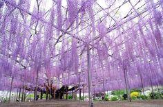 The Most Gorgeous Wisteria Tree in Japan – Fubiz Media