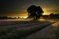 A Lavish Sunrise In Lavender Fields