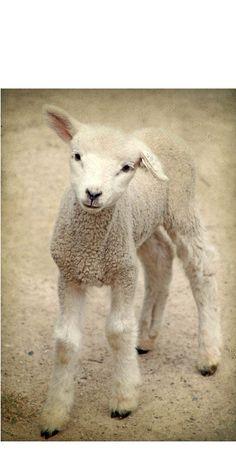 Lamb photograph animal photograph nature by judeMcConkeyPhotos on etsy