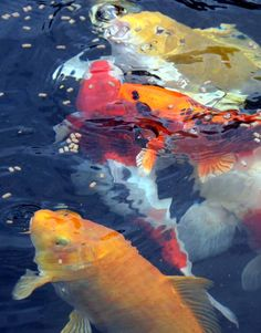 Colorful Koi are on my gardening wish list