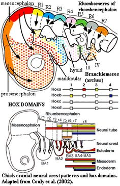 Cranial neural crest and hox domains.  Couly et al. (2002)
