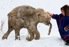 """""""The last mammoths died on Wrangel island around 2000 – 2500 BCE -- The remote Arctic island in Siberia is believed to be the final place on Earth to support woolly mammoths as an isolated population until their extinction about 2000 BCE, making them the most recent surviving population known to science."""" -- via FactDay.com"""