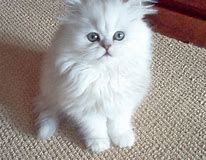 Image Result For Silver Persian Kittens Kittens Persian Kittens Pretty Cats