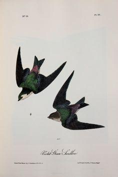 Vintage Audubon Bird Print  Violet Green Swallow  by PaperPopinjay
