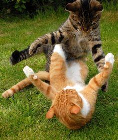 猫のけんかが必死すぎて笑いを誘う!リアル・キャットファイト決定版/2013年1月3日 - 気になる - クランクイン!                                                                                                                                                                                 もっと見る