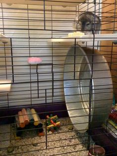 Turn a metal pan into a large hamster wheel for your chinchilla or hedgehog! Set a triangle lazy susan bearing on the back of the pan in the center, mark the attachment holes for the bearing on the pa Rat Toys, Bird Toys, Chinchilla Care, Animal Breeding, Guinea Pig Toys, Guinea Pigs, Hamster Care, Hamster Wheel, Rat Cage
