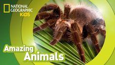 Tarantula | AMAZING ANIMALS