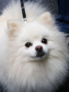Pomeranian - Dogs Puppy Hounds Puppies