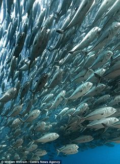 A school of fish together in the Cabo Pulmo marine protected area in Baja California...