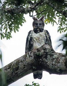 The Harpy Eagle (Harpia harpyja) is the most powerful and largest eagle in the world. Spotted on Global Big Day, May 13th 2017 at a new nesting site, Guyana, South America. By Leon Moore.