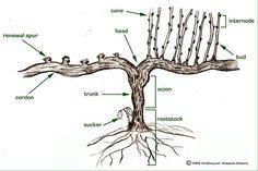 Anatomía de la Parra