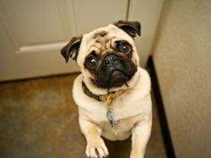 Hello Pug  8 x 10 Print by MarkJAsher on Etsy, $23.00