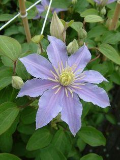 Clematis 'Justa' Clematis-blauw - is een lila blauwe Clematis met kleinere bloemen, bloeit met mooie lavendelkleurige lila blauwe bloemen die kunnen varieëren in groote van 6 tot 8 cm.  De Clematis Justa is een gemakkelijke en gezonde Clematis plant  en wordt het beste in het voorjaar ingekort. Een plek in de zon of halfschaduw is voor deze Clematis Justa perfect. Bloeitijd 6-9, hoogte 1,5 meter.